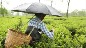 Tea plucking, processing resume in Tripura amid coronavirus lockdown