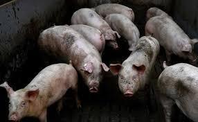 असम में 2,500 सूअरों की मौत